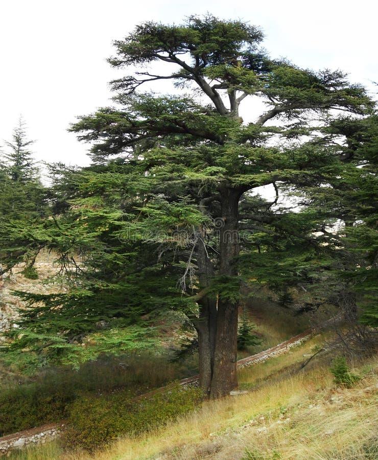 Arbre de cèdre libanais (libani de Cedrus) photographie stock libre de droits