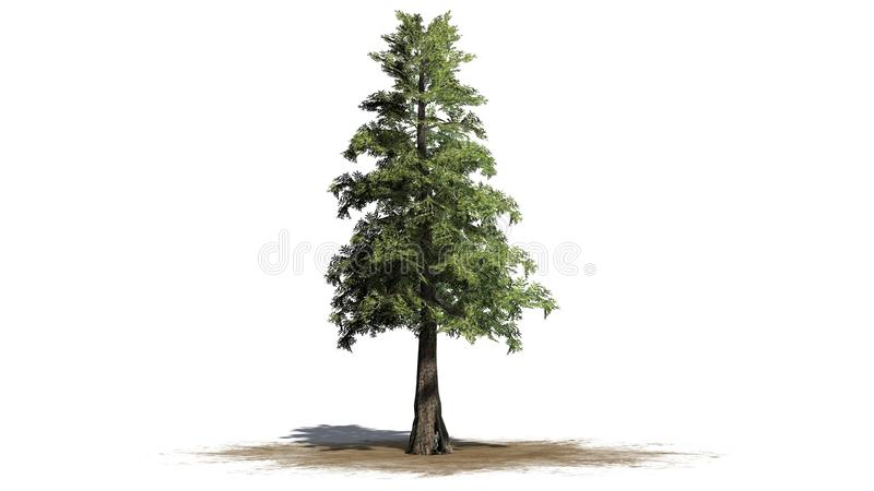 Arbre de cèdre de rouge occidental illustration libre de droits