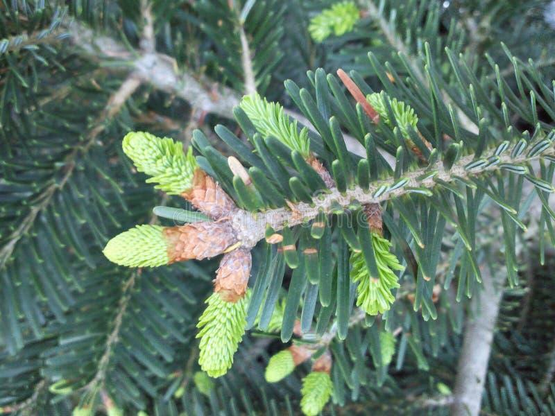 Arbre de cône de pin de bébé Durée verte photographie stock