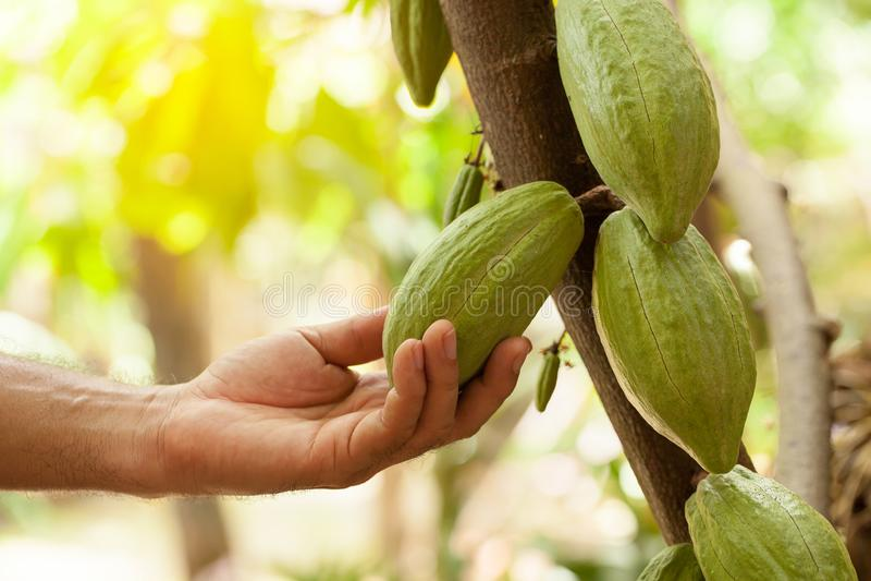 Arbre de cacao et x28 ; Cacao& x29 de Theobroma ; Cosses organiques de fruit de cacao en nature image stock