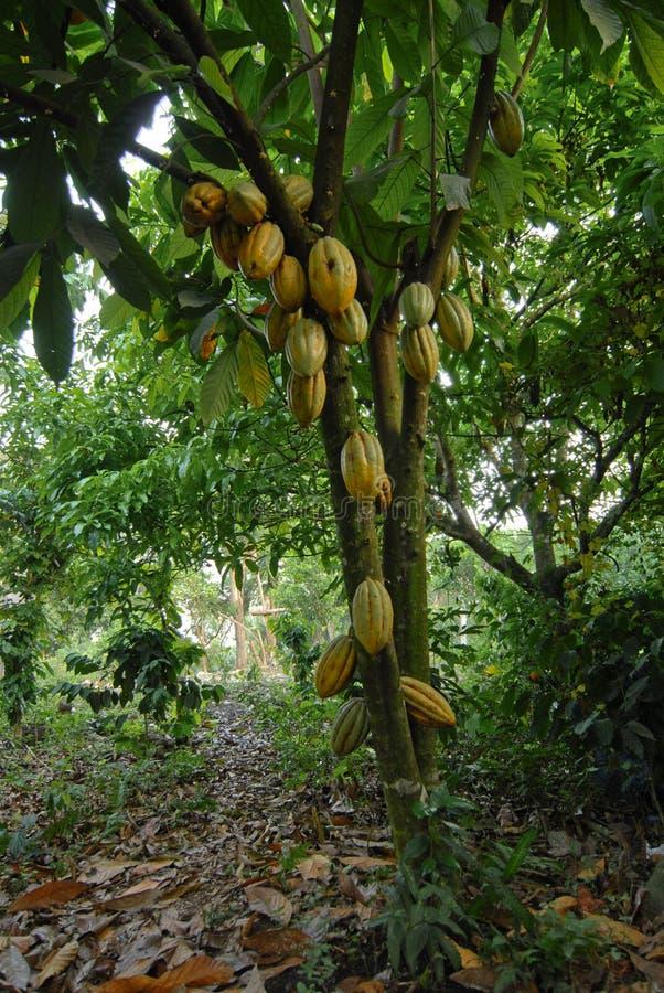 Arbre de cacao sauvage photographie stock libre de droits