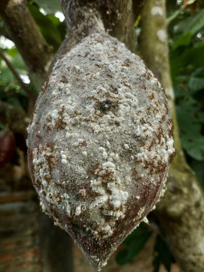 Arbre de cacao de Theobroma image libre de droits