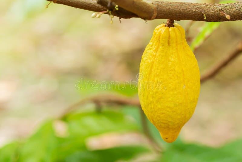 Arbre de cacao (cacao de Theobroma) Cosses organiques de fruit de cacao en nature image stock