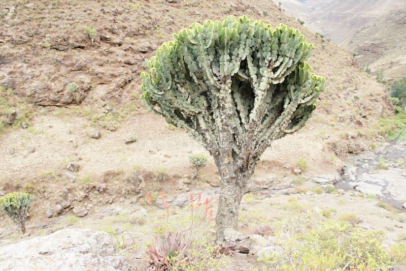 Arbre de cactus (candélabre d'euphorbe), montagnes de Simien image libre de droits