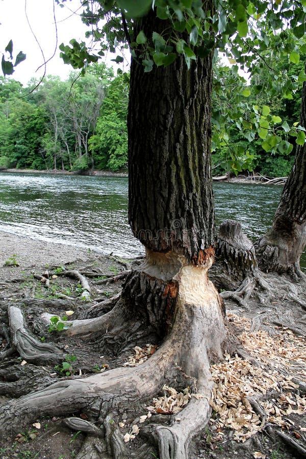 Arbre de castor à la rivière dans South Bend Indiana image stock