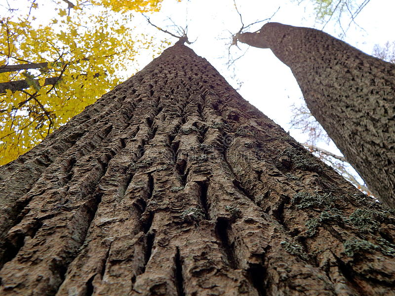 Arbre de cendre, écorce d'arbre images stock
