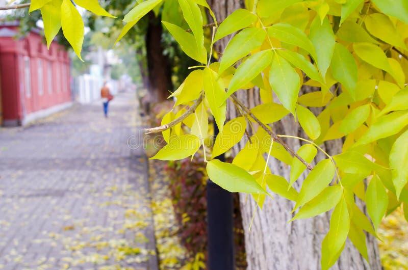 Arbre de cendre avec des feuilles de jaune et des tuiles de trottoir images stock