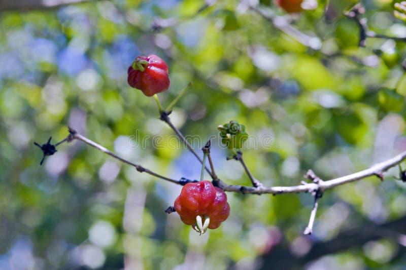 Arbre de cerise ou de cerise de Cayenne de la Cayenne avec des fruits photos libres de droits