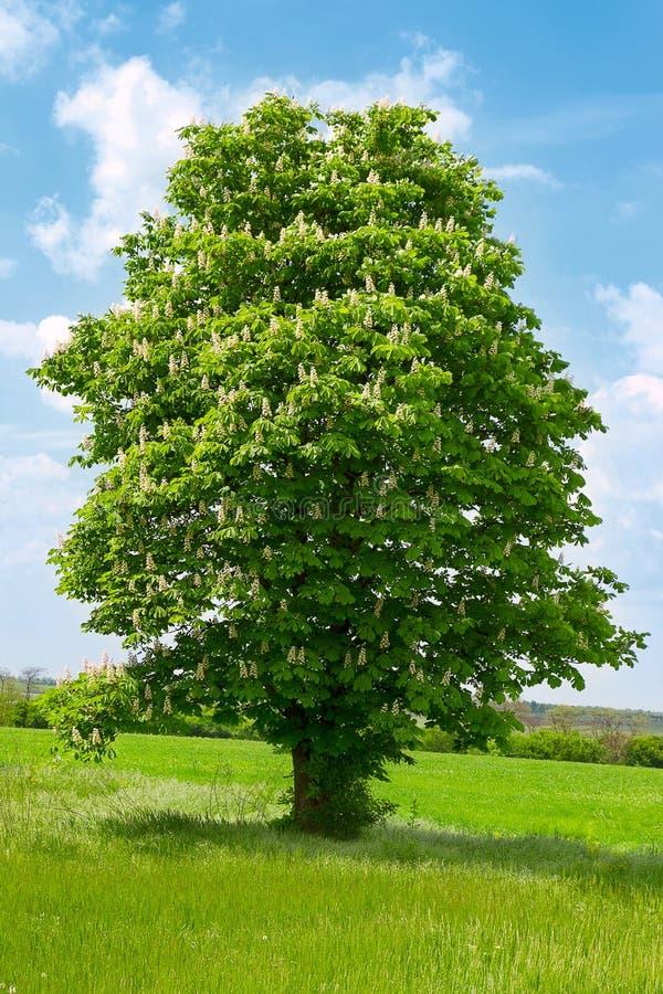 Un arbre de châtaigne avec la fleur blanche photo libre de droits