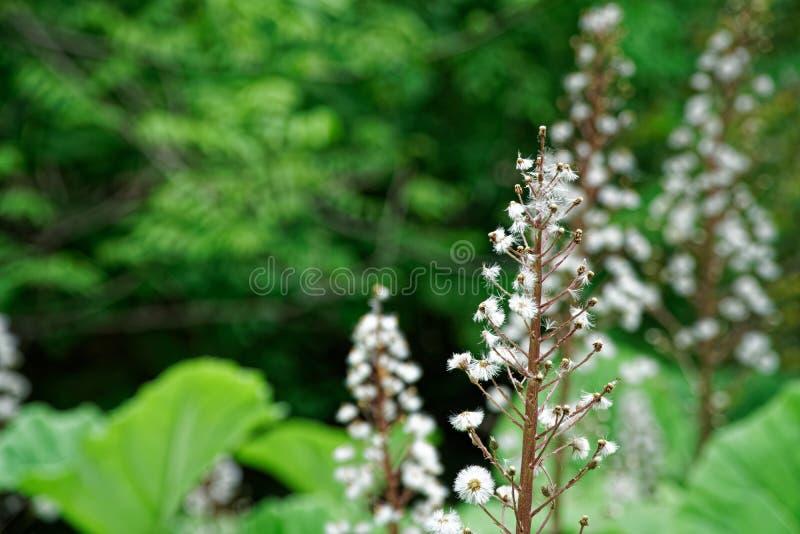 Arbre de châtaigne de floraison avec les fleurs de floraison de ressort, fond floral saisonnier photos libres de droits