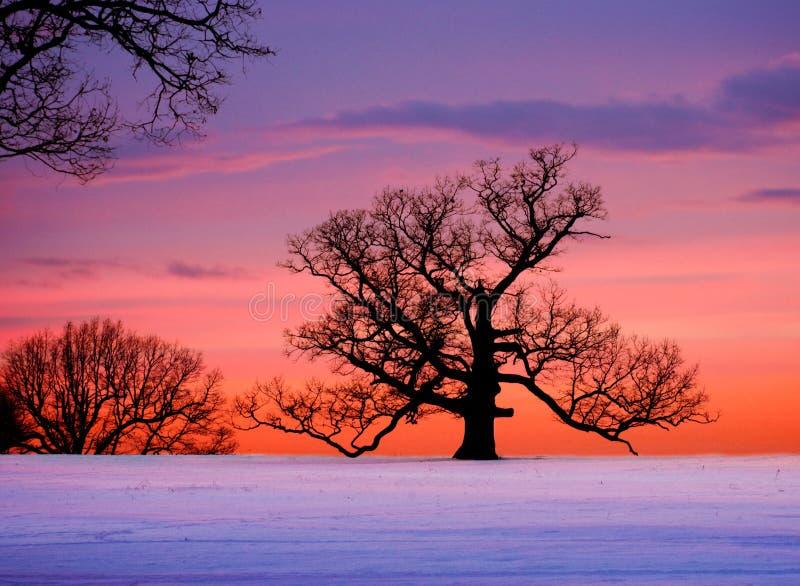 Arbre de chêne au coucher du soleil image stock