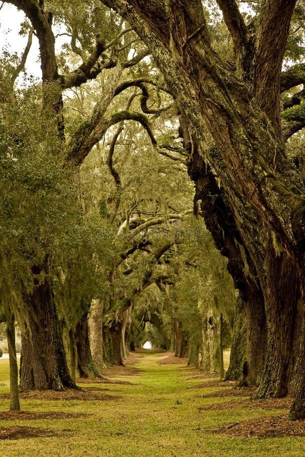 arbre de chêne d'avenue images stock