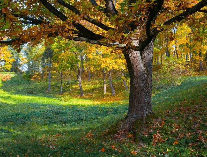 Arbre de chêne dans l'automne image libre de droits