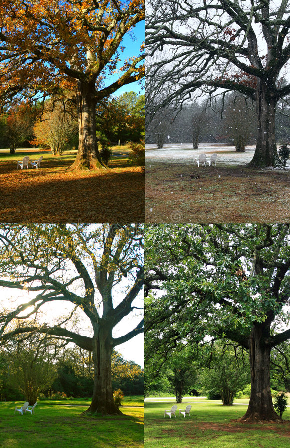 Arbre de chêne dans quatre saisons photos stock