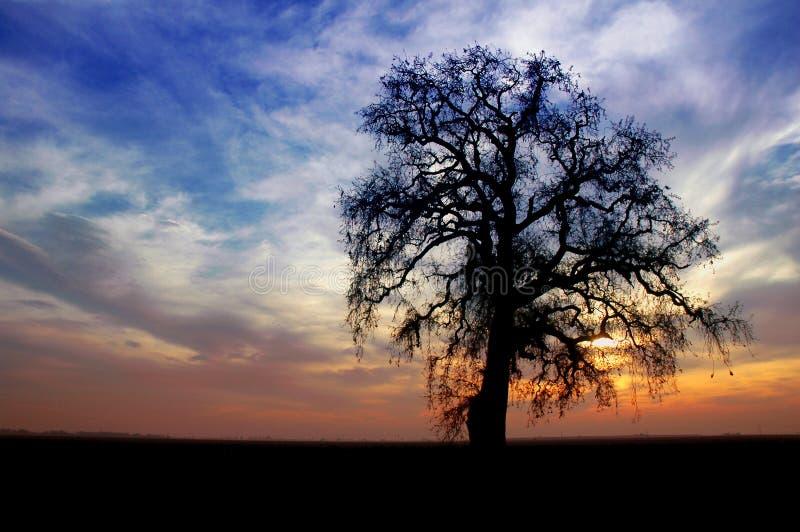 Arbre de chêne de l'hiver image stock