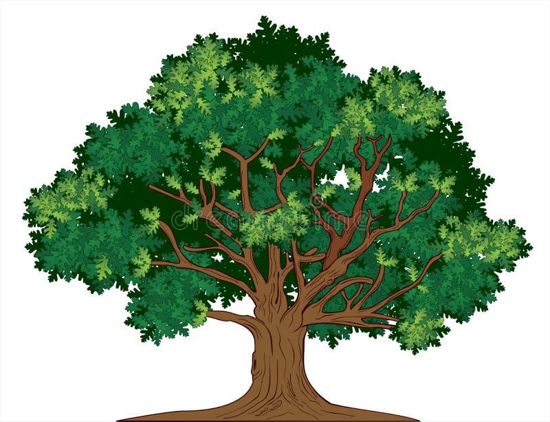 Arbre de chêne de vecteur illustration de vecteur
