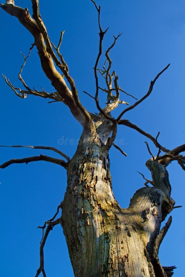 Arbre de chêne mort photos stock
