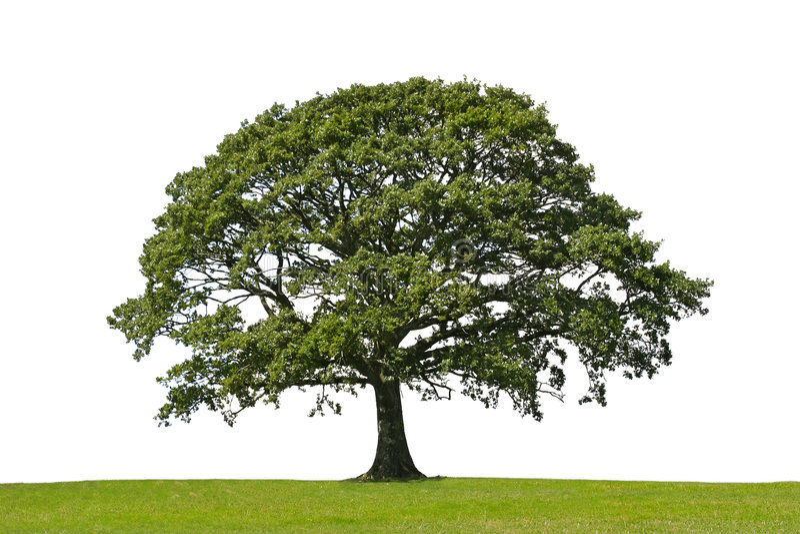 Arbre de chêne, symbole de force image libre de droits