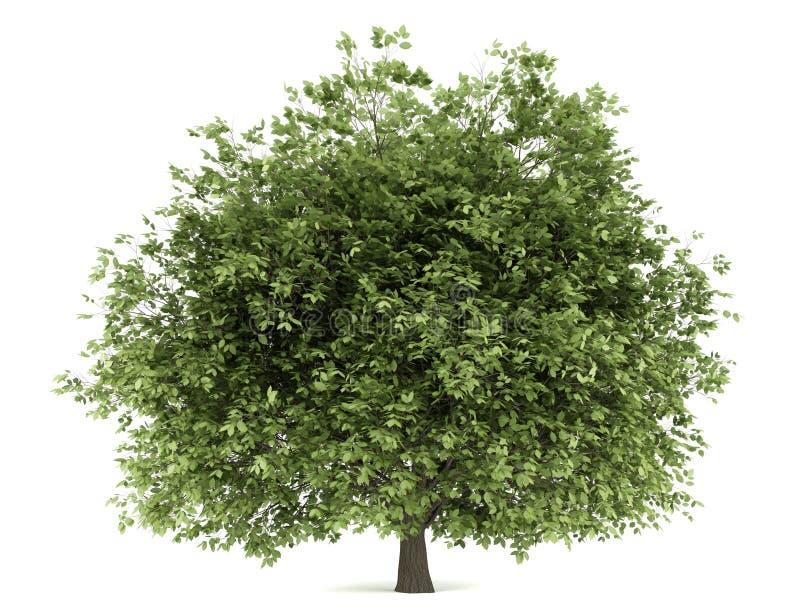 arbre de charme d 39 isolement sur le blanc illustration stock illustration du ressort path. Black Bedroom Furniture Sets. Home Design Ideas