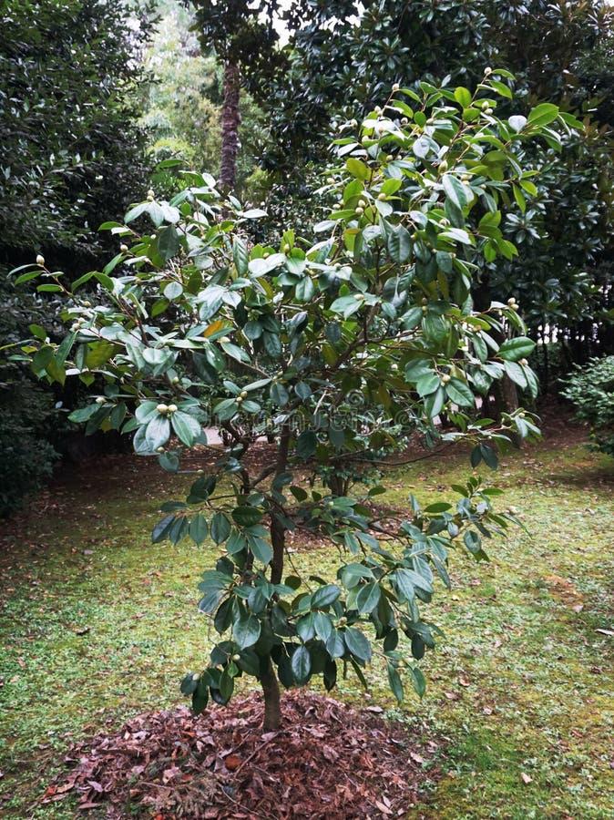 Arbre de cognassier du Japon de camélia avec beaucoup de bourgeons en parc dans l'horaire d'hiver images stock