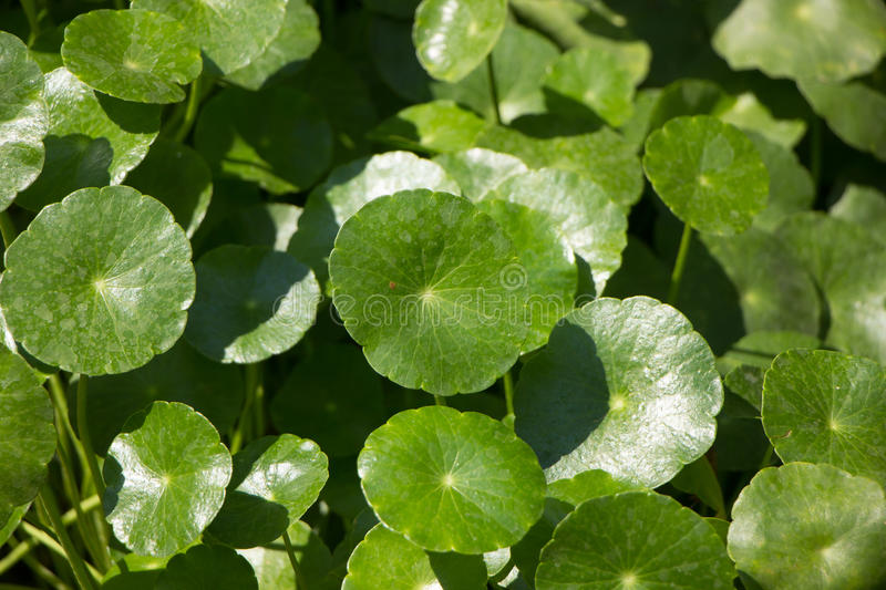 Download Arbre De Cola De Gotu Ou Pennywort Asiatique Photo stock - Image du asiatique, entier: 87709510