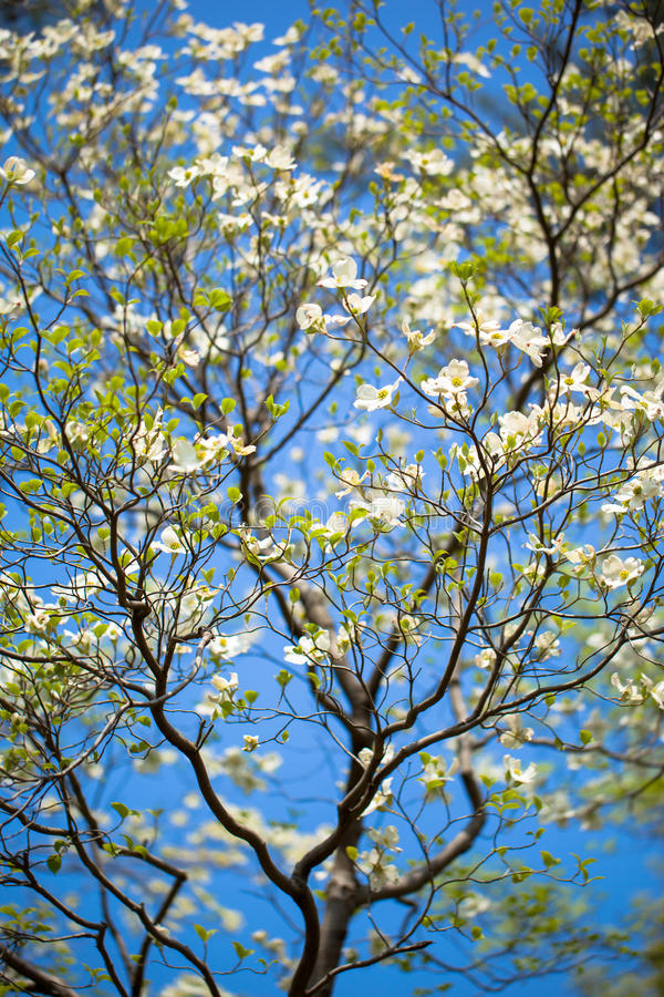 Arbre de cornouiller blanc de floraison (cornus la Floride) en fleur au soleil photo libre de droits