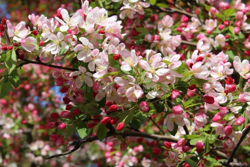 Arbre de cornouiller en fleur images libres de droits