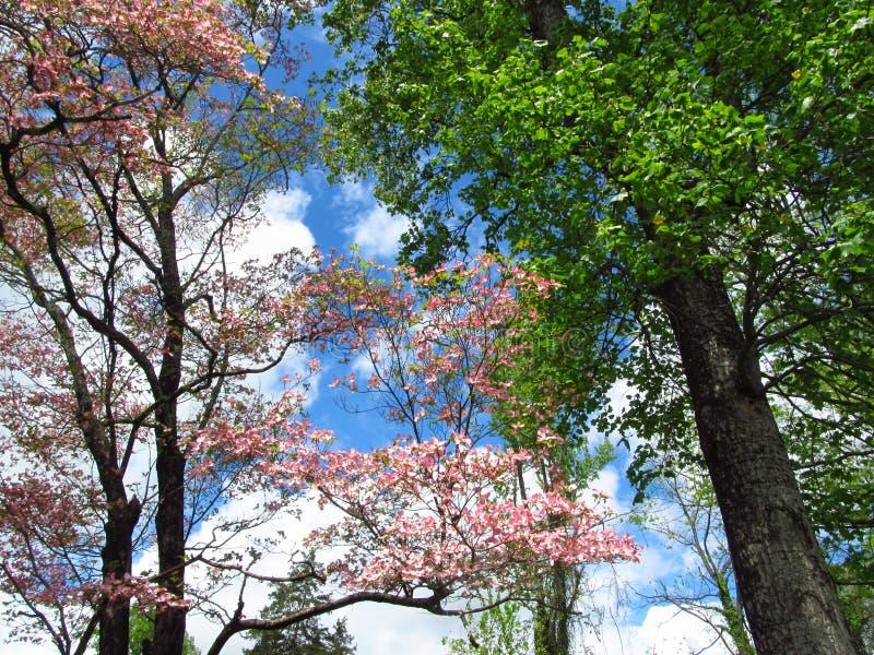 Arbre de cornouiller rose de floraison photos libres de droits