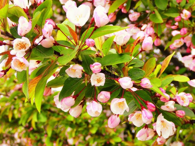 Arbre de Crabapple en fleur image stock