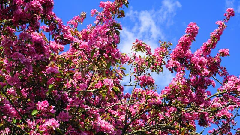 Arbre de Crabapple de redevance de Malus avec des fleurs dans la fin du soleil de matin  Fleur d'Apple images libres de droits