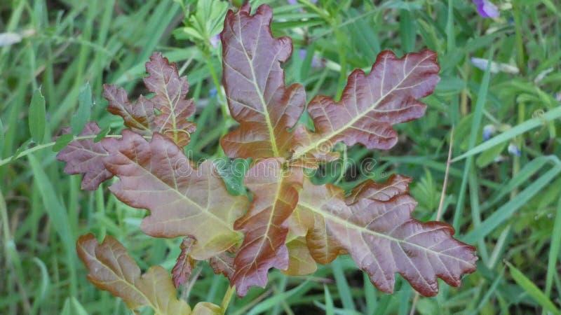 Arbre de cuivre de quercus de Duir de chêne sur Forest Floor photo stock