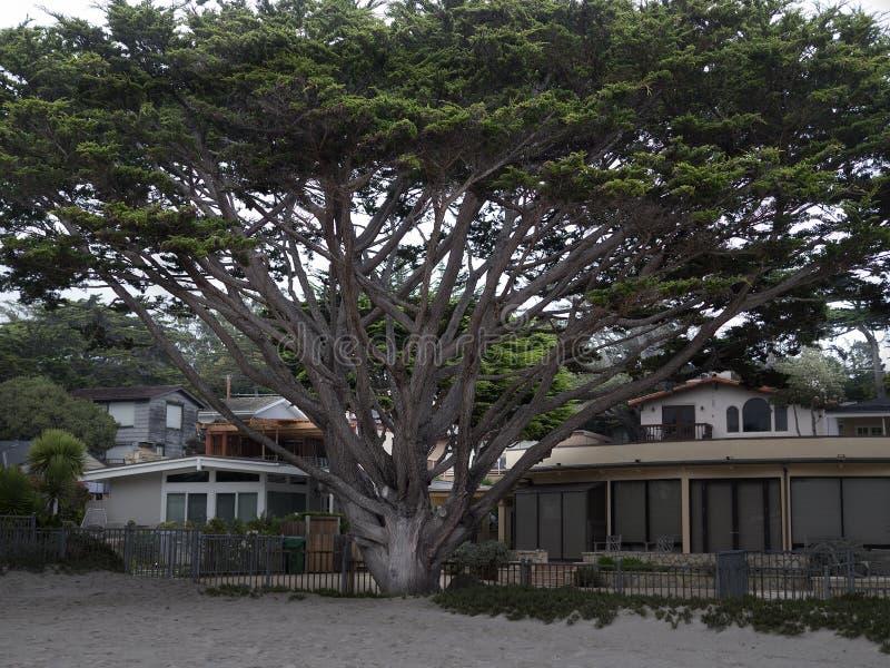 Arbre de cyprès énorme devant une maison de plage photographie stock
