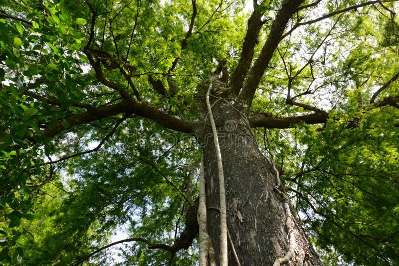 arbre de cypr s g ant avec la figue d 39 trangleur image stock image du am rique stationnement. Black Bedroom Furniture Sets. Home Design Ideas