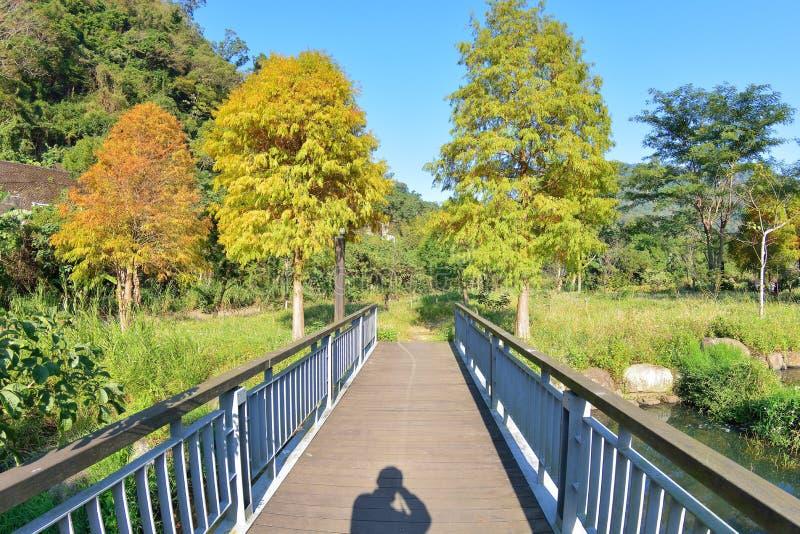 Arbre de Cypress chauve coloré d'hiver photo stock