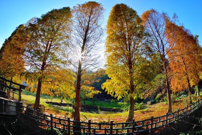 Arbre de Cypress chauve coloré d'hiver image libre de droits