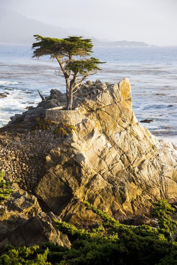 Arbre de Cypress solitaire images libres de droits