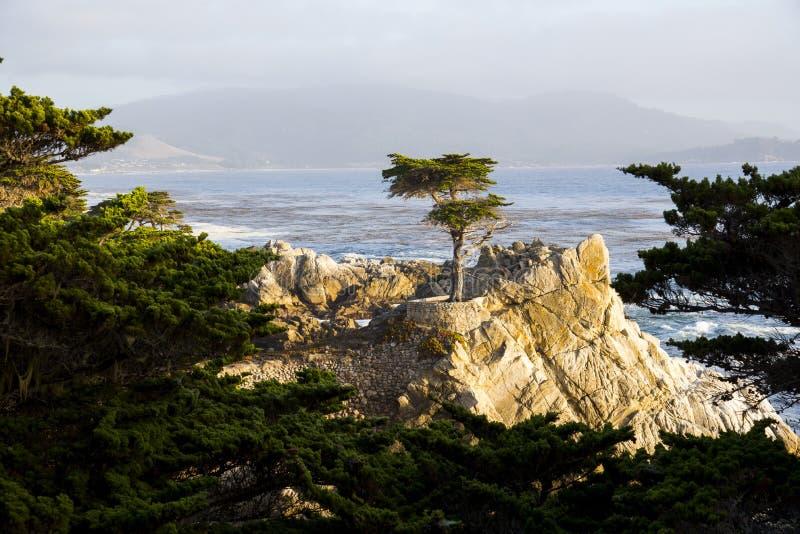 Arbre de Cypress solitaire image libre de droits