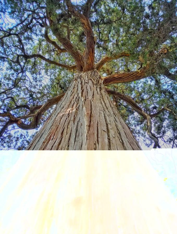 Arbre de Cypress stupéfiant 2 image libre de droits