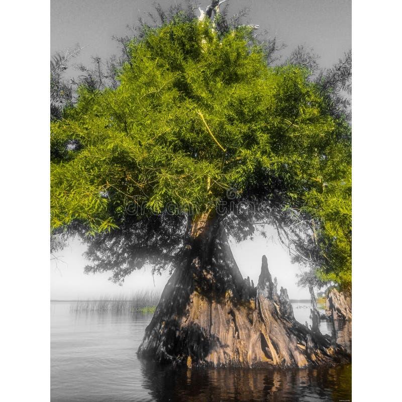 Arbre de Cypress sur la rivière St Johns images libres de droits
