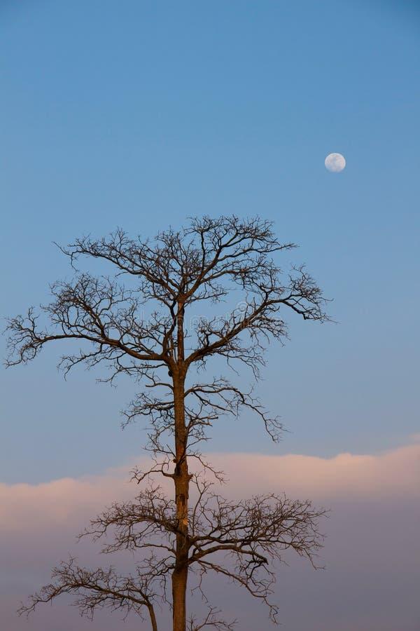 Arbre de Deat et la lune images libres de droits