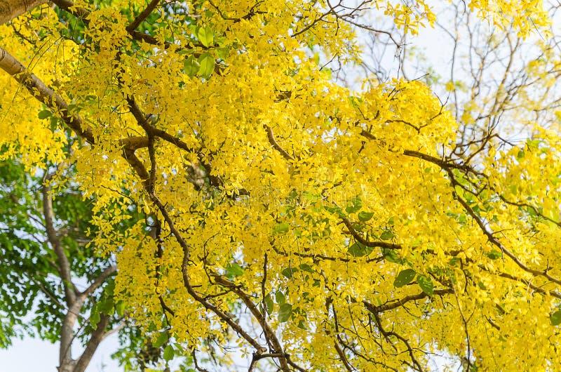 arbre de douche d 39 or belle fleur jaune ratchaphruek image stock image du saison fleur 53389317. Black Bedroom Furniture Sets. Home Design Ideas
