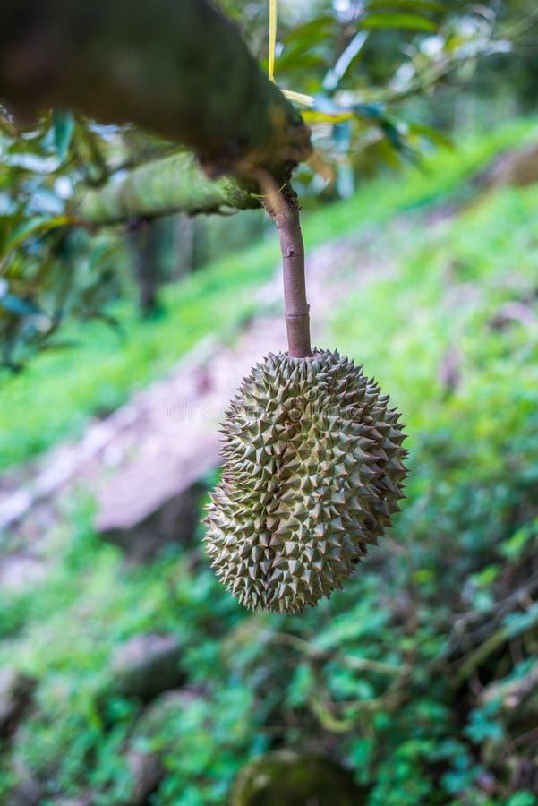 Arbre de durian, fruit frais de durian sur l'arbre image stock