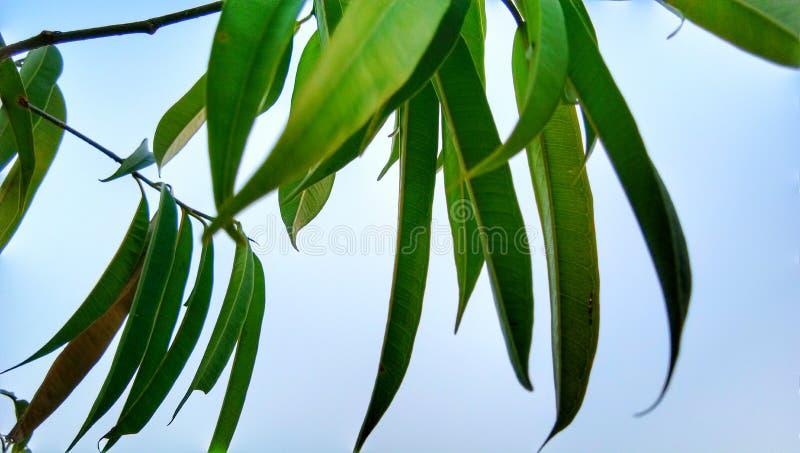Arbre de feuilles de vert de mangue de Mangifera photos libres de droits