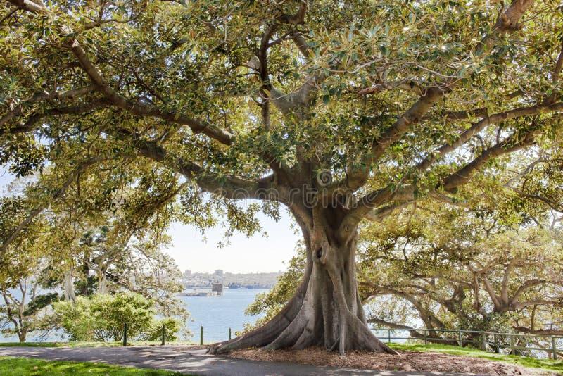 Arbre de ficus dans le jardin botanique Sydney photographie stock libre de droits
