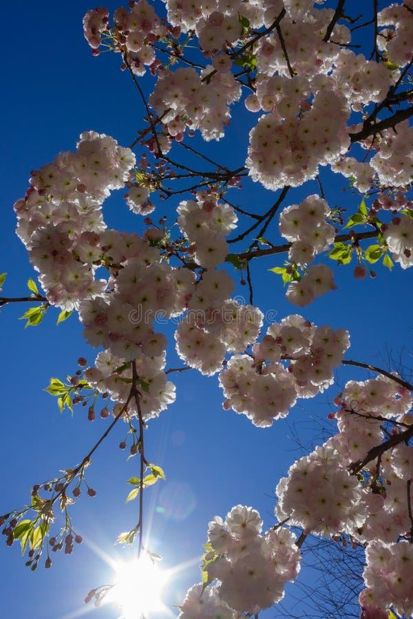 arbre de fleur d'amande avec des rayons de soleil photos libres de droits