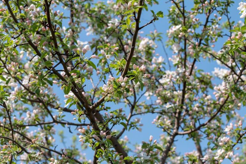 Arbre de fleur d'amande de pomme de cerise de ressort, fond rose de fleurs photo stock
