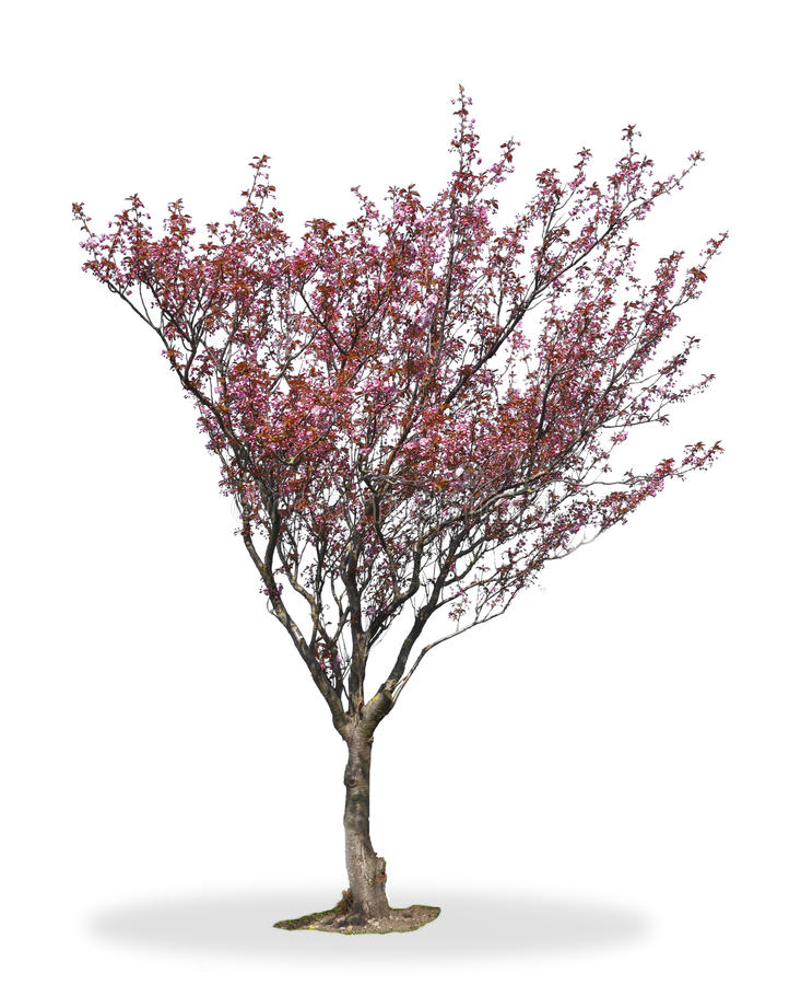 Arbre de fleur de cerise photographie stock libre de droits
