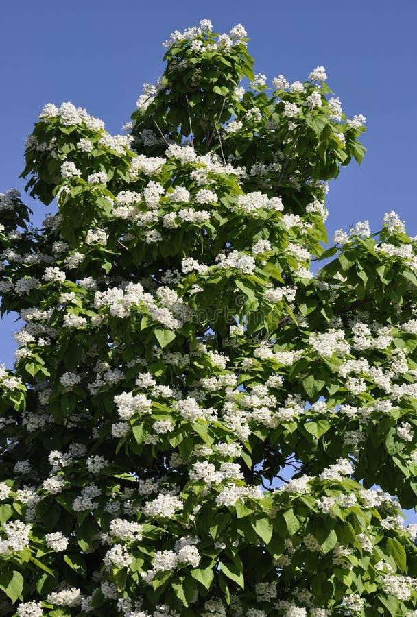 Arbre de fleur de parc Jacques Cartier de Gatineau dans la province d'Ontario photo libre de droits