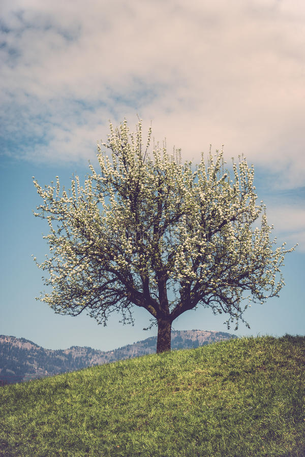 Arbre de fleur sur la colline photographie stock