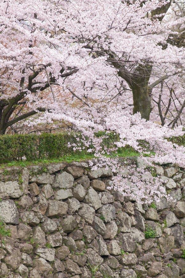 Arbre de fleurs de cerisier de Sakura photos libres de droits